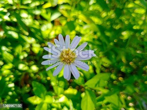 kalimeris indica flower for wallpaper, background
