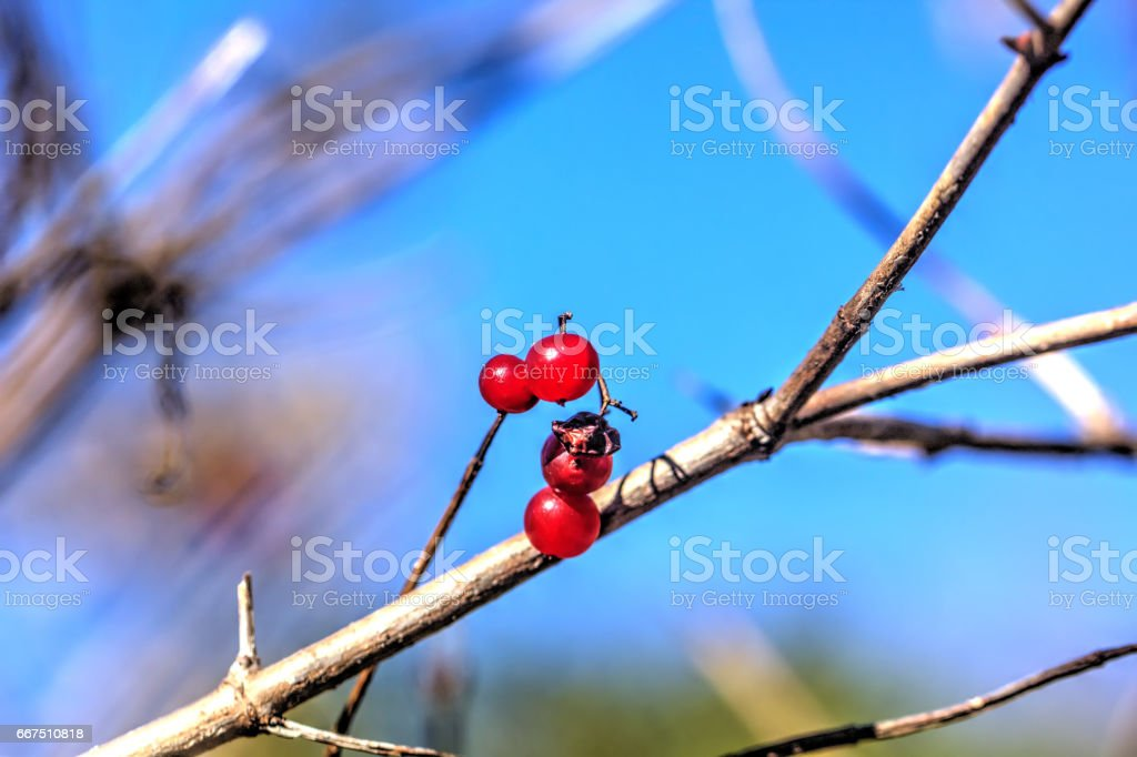 Kalina. Wild berry. foto stock royalty-free