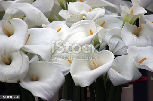 View on several white Kalla flowers