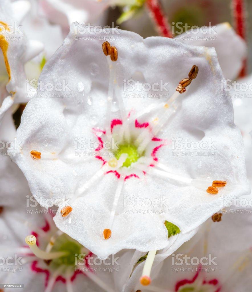 Kalmia Latifolia Blossom stock photo
