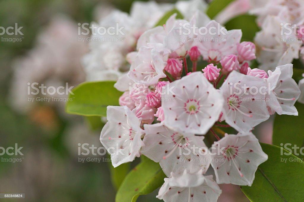 Kalmia Kalmia Flower Stock Photo