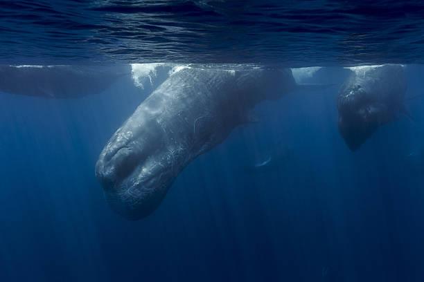 WDC Kalpitya workshop. Sperm Whale Armada. Sri Lanka stock photo