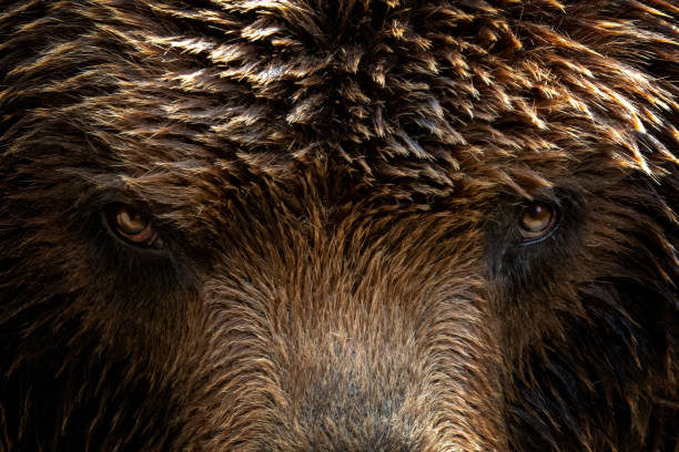 Kamchatka Brown bear (Ursus arctos beringianus), close-up detail portrait. Brown fur coat, danger and aggresive animal. Fixed look, animal muzzle with eyes. Big mammal from Russia. stock photo