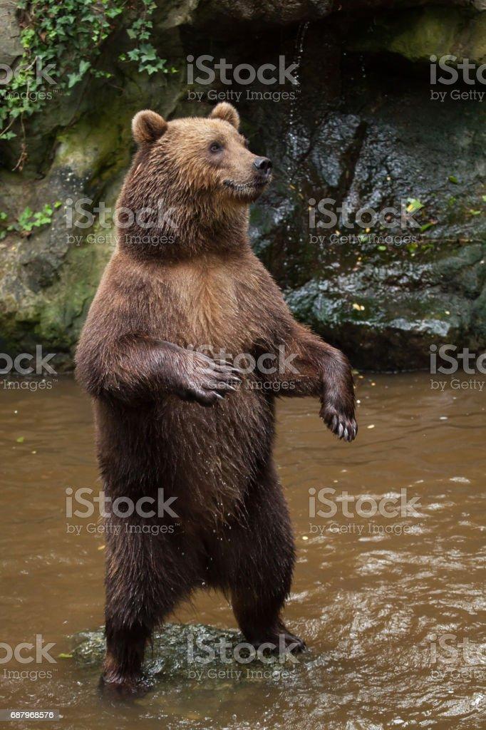 Urso marrom de Kamchatka (Ursus arctos beringianus) - foto de acervo