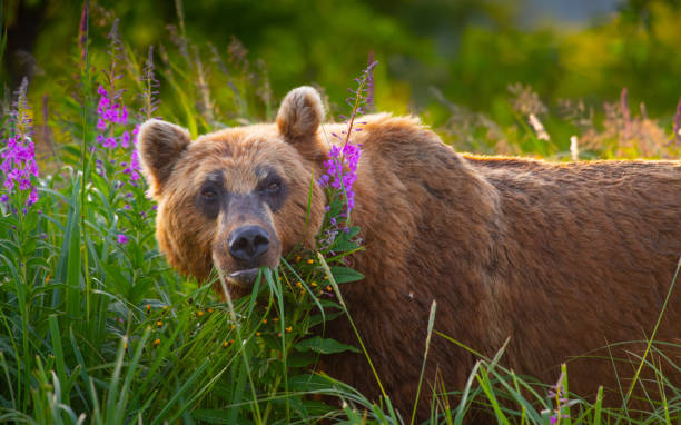 Kamchatka Brown Bears Kamchatka Brown Bears kamchatka peninsula stock pictures, royalty-free photos & images