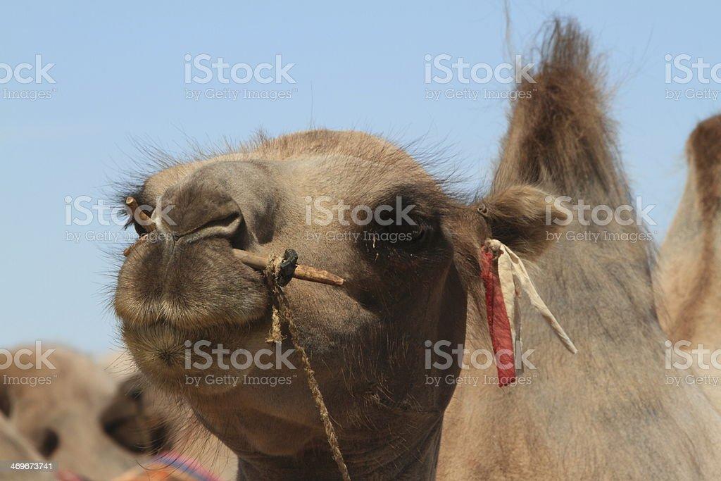 Kamel in der Wüste Gobi royalty-free stock photo