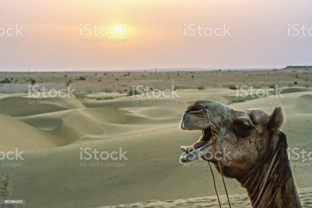 Kamel in rajasthan – Foto
