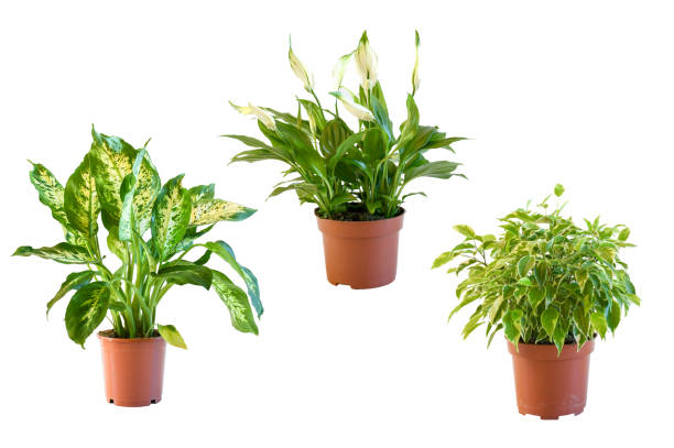 Kamerplant Ficus Kinky, peace lilly and Dieffenbach plant  small size grow and blooming in pot on white bacground isolated and clipping path. Idea indoor plant decorated. Air purifying plants concept, Kamerplant Ficus Kinky, peace lilly and Dieffenbach plant  small size grow and blooming in pot on white bacground isolated and clipping path. Idea indoor plant decorated. Air purifying plants concept, kamerplant stock pictures, royalty-free photos & images