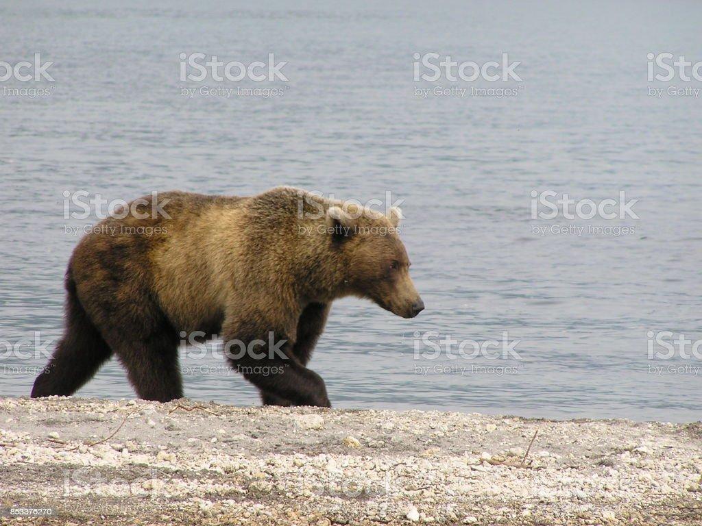 Kamtschatka bears- Kuril Sea- Russia stock photo