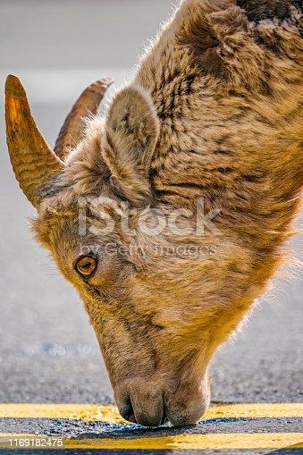 Mountain sheep in Kananaskis Provincial Park