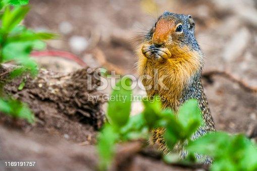 Prairie Ground Squirrel in Kananaskis Provincial Park