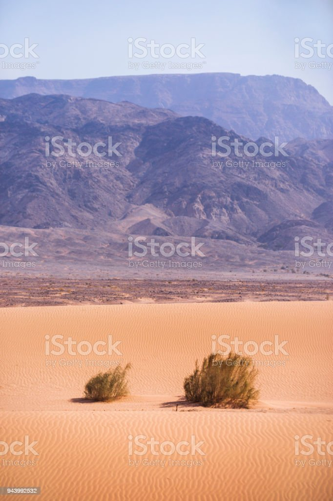 Kandym bushes on sand. Wadi Araba desert. Jordan landscape stock photo