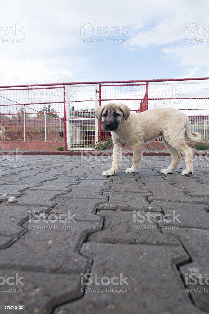 Kangal Dog stock photo