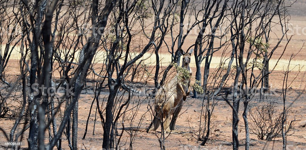 Kangaroo amongst burnt trees from bushfire royalty-free stock photo