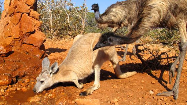 kangaroo and emus, australia stock photo