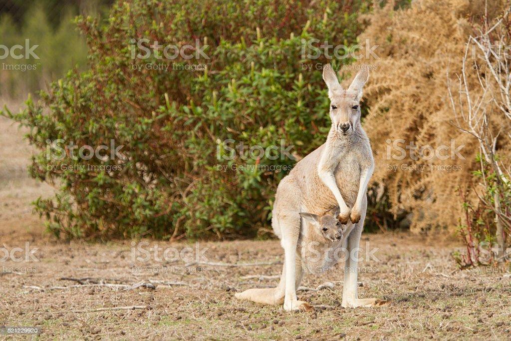 Kangaroo and Joey stock photo