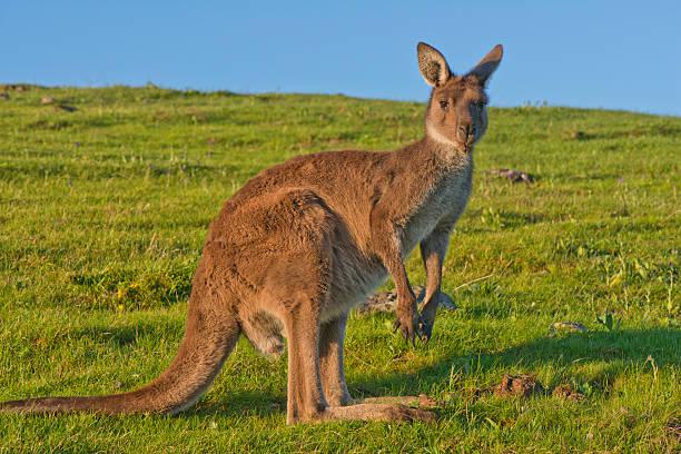 Kangaroo at Dusk stock photo