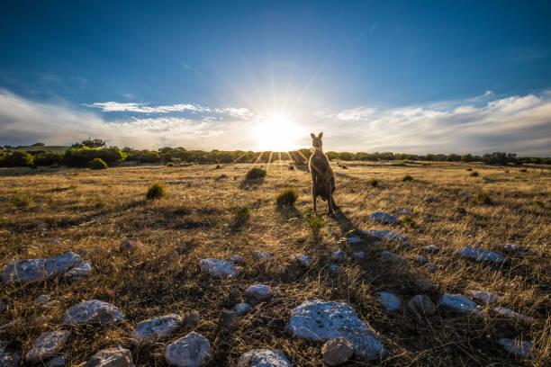 Kangaroo at Sunset Kangaroo on Kangaroo Island, South Australia. animal wildlife stock pictures, royalty-free photos & images