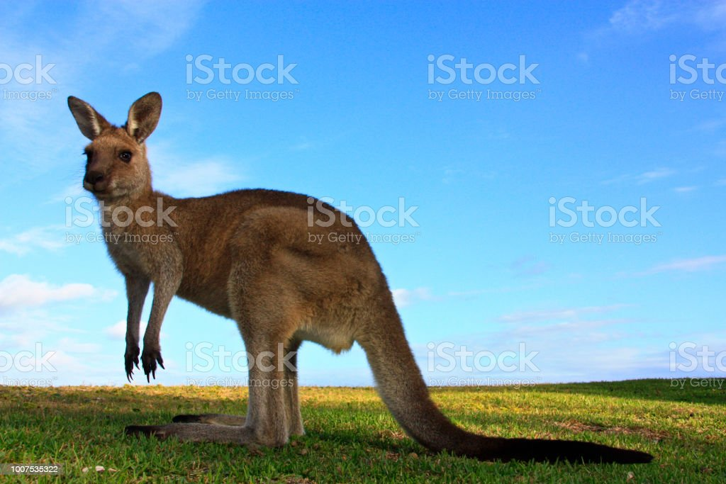 kangaroo, australia stock photo