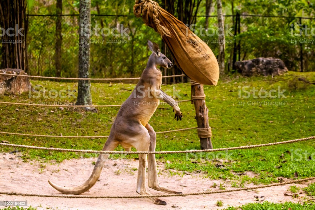 Kangaroo boxing. stock photo