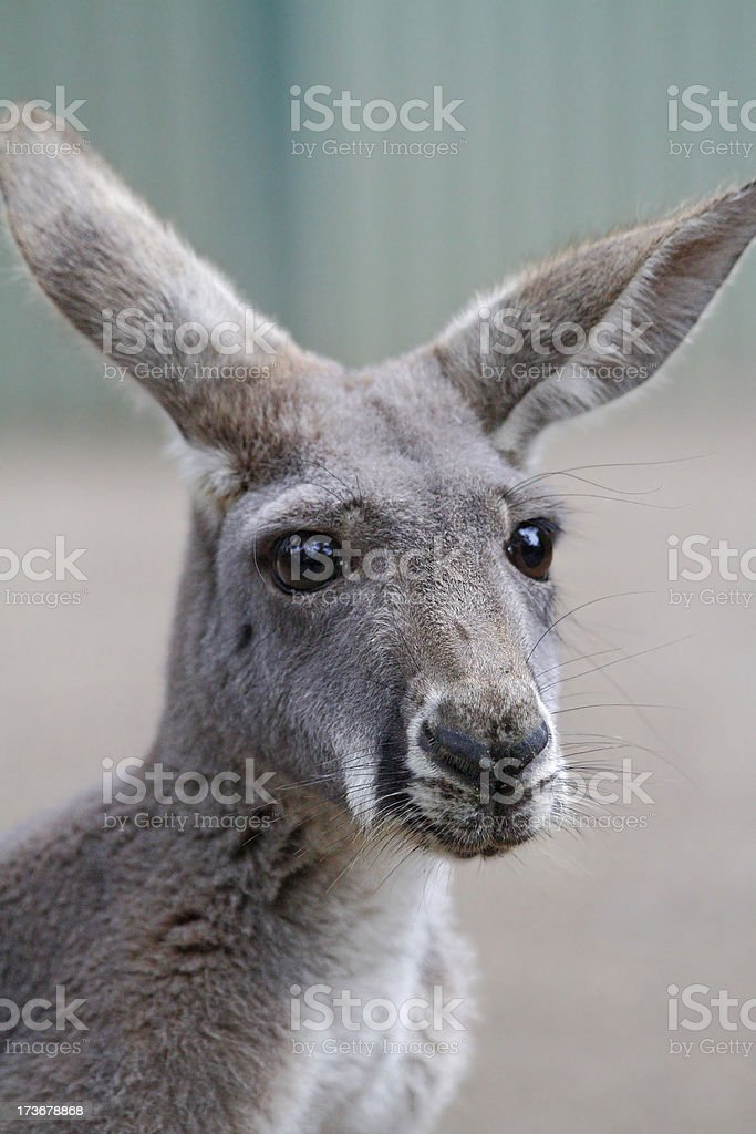 Kangaroo Close Up royalty-free stock photo
