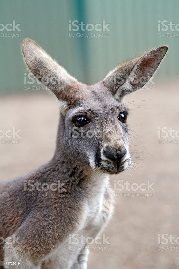 Kangaroo Close Up royalty-free stock photo