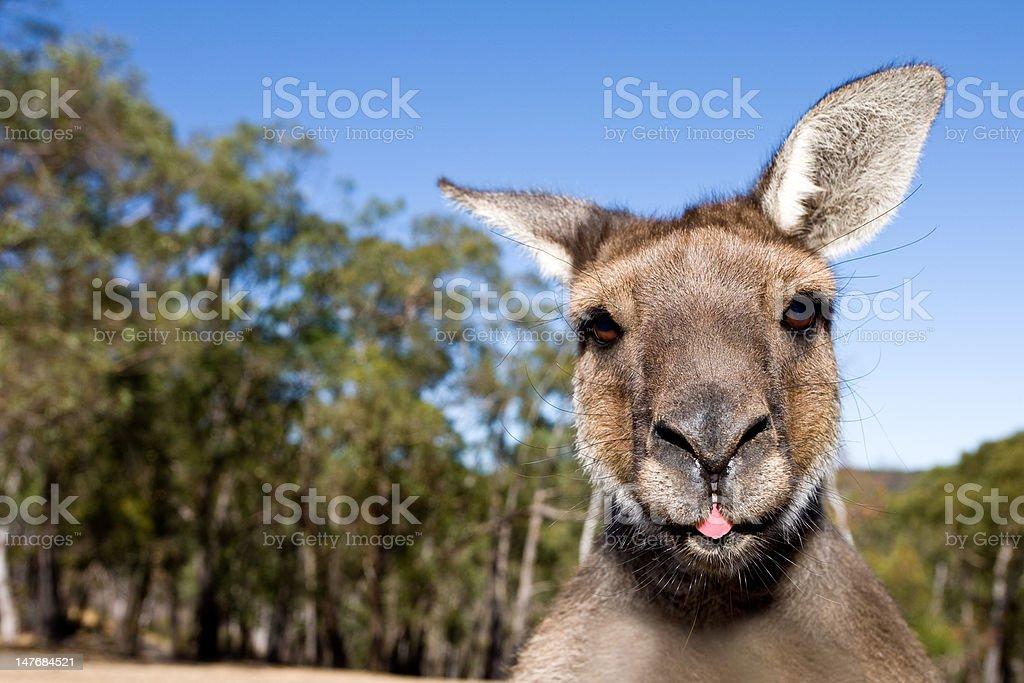 Kangaroo Close Up With Tongue Out royalty-free stock photo