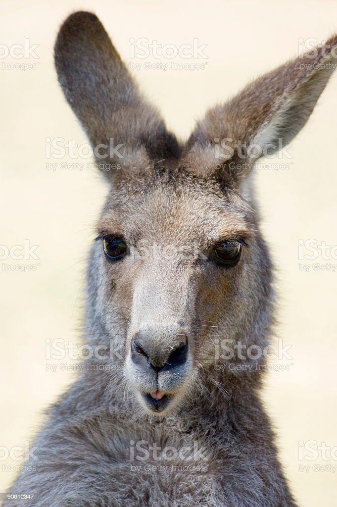 Kangaroo Close-up royalty-free stock photo