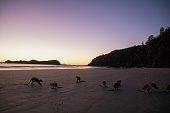 Känguru essen an strand wären des Sonnenaufganges