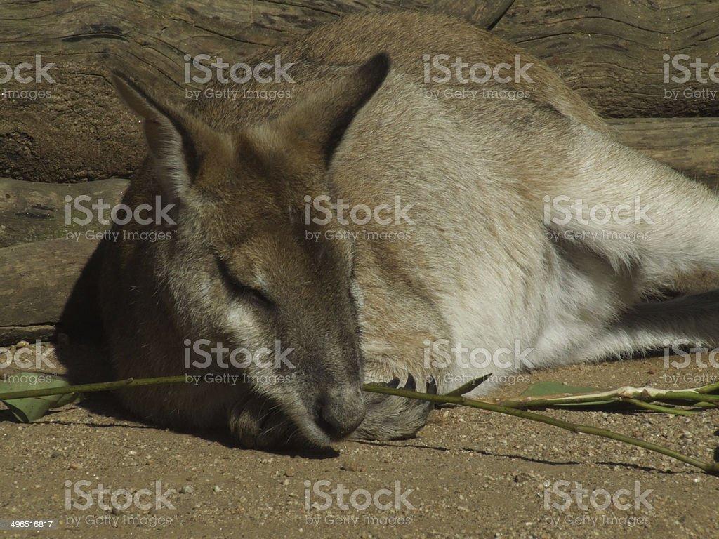 Kangaroo eating stock photo