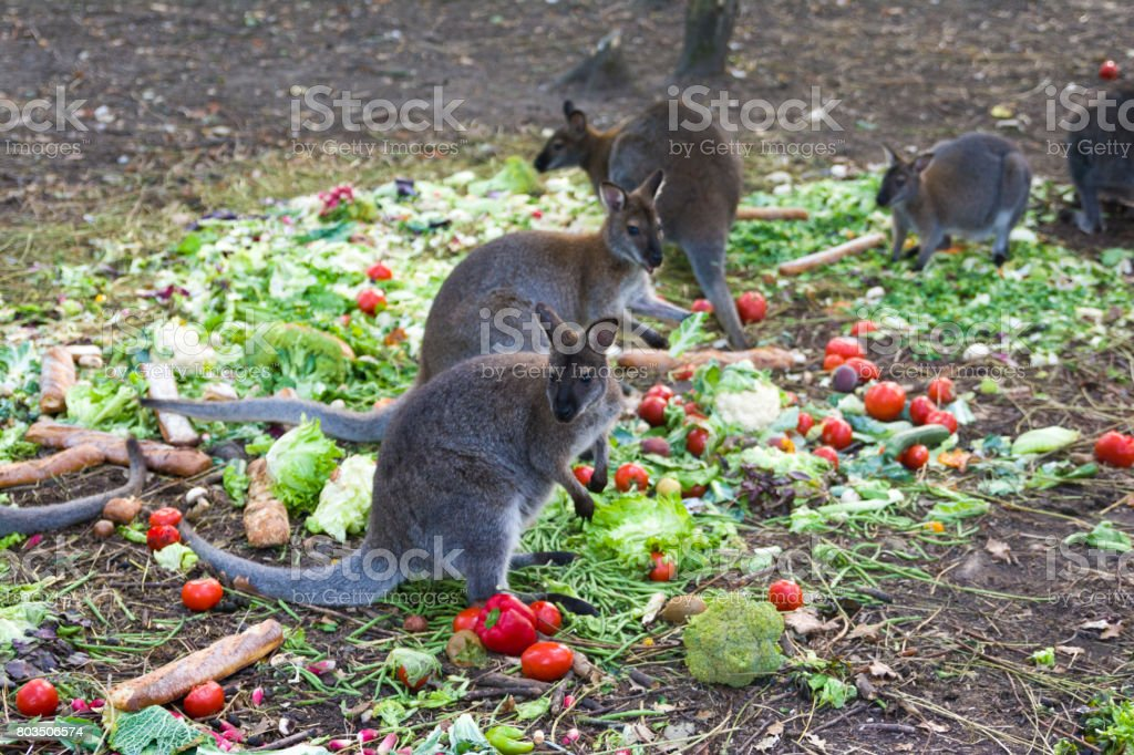 Kangaroo eating vegetables stock photo