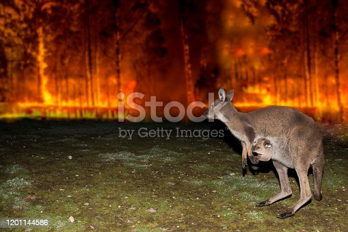 istock Kangaroo escaping from Australia bush fire 1201144586