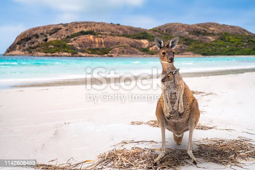 Kangaroo family, mother and baby in bag at Lucky Bay in the Cape Le Grand National Park near Esperance, Western Australia, this image can use for travel, australia, animal, mother, nature, and kangaroo concept