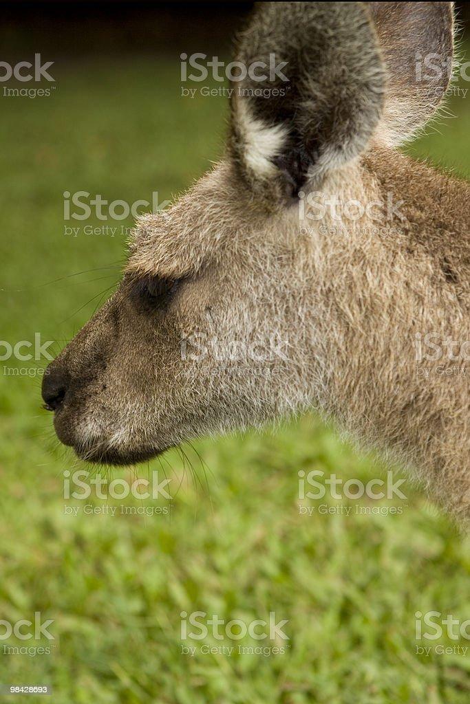 Kangaroo Head royalty-free stock photo