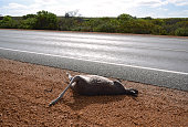Kangaroo hit on the road
