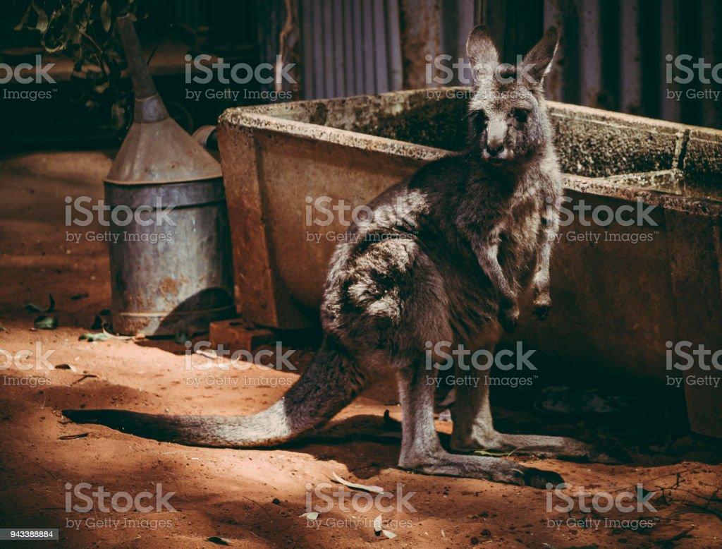 Kangaroo in Australia stock photo