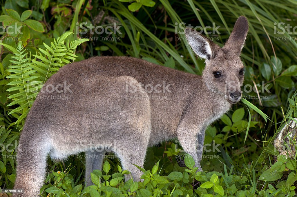 Kangaroo in Forest Eating Grass stock photo