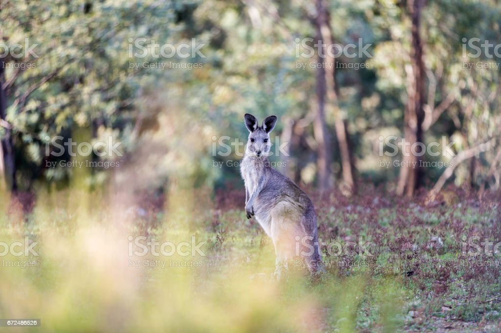 Kangaroo in forest stock photo