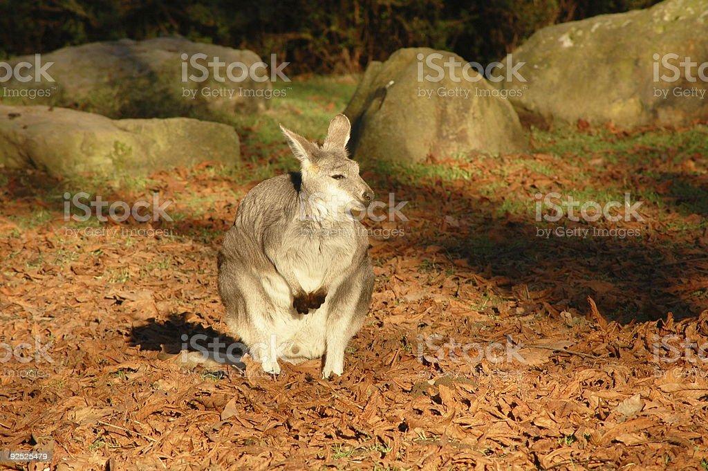 Kangaroo in the Sun royalty-free stock photo
