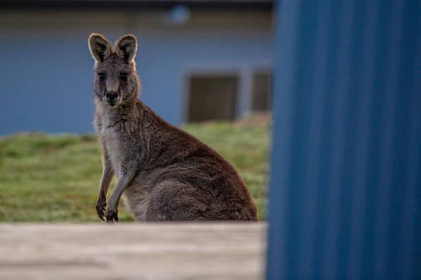 Kangaroo in the Victorian Alps stock photo