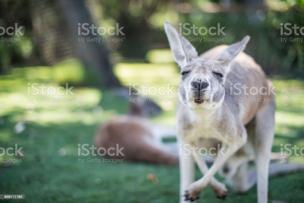 Kangaroo in the wild stock photo