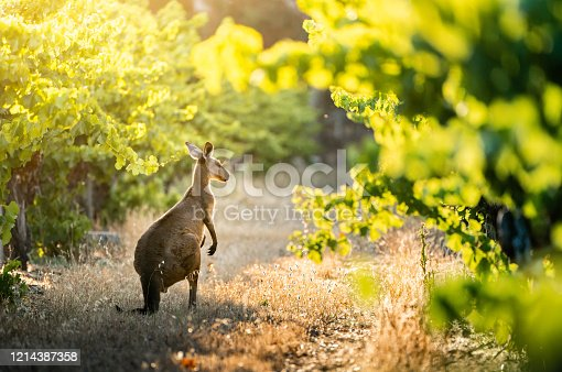 Kangaroo in South Australian vineyard