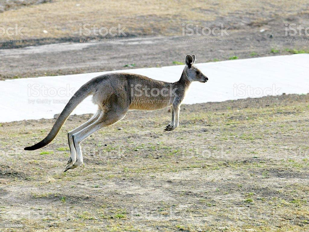 Kangaroo Jumping royalty-free stock photo