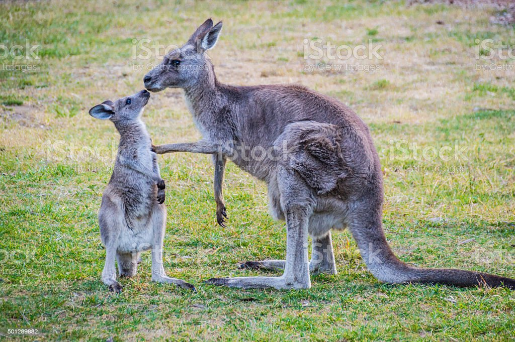 Kangaroo kissing its baby stock photo