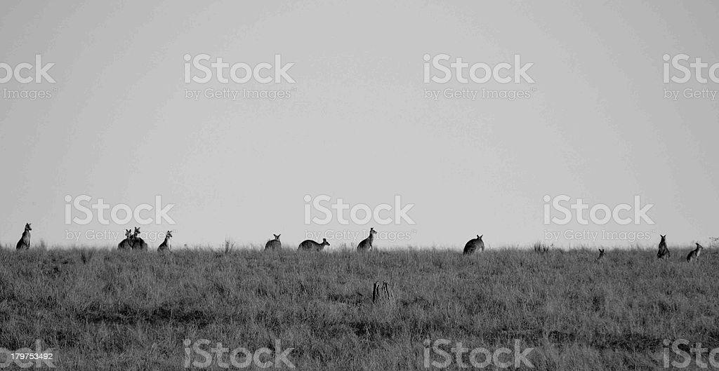Kangaroo Landscape royalty-free stock photo