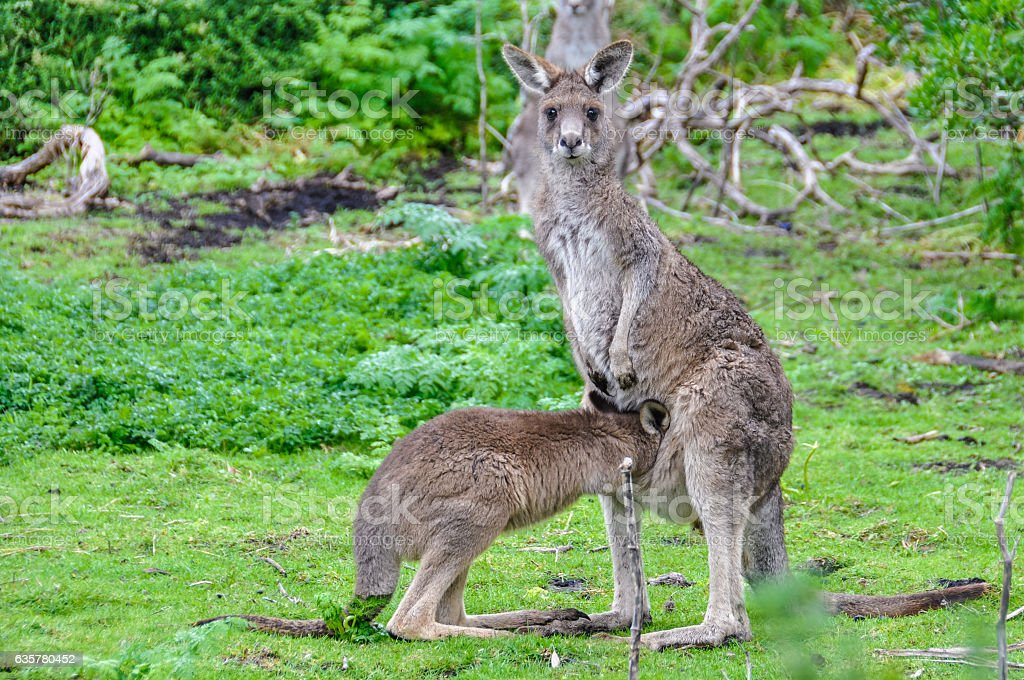 Kangaroo mother and baby on the Great Ocean Road, Australia stock photo
