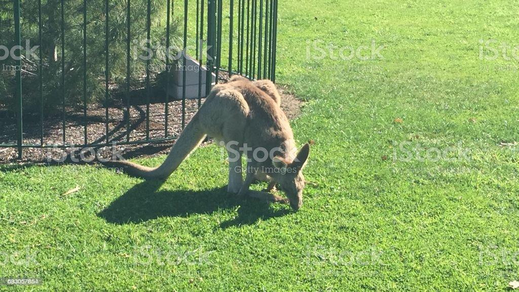 kangaroo on grass stock photo