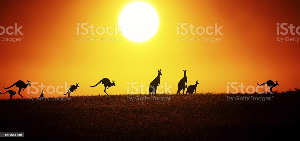 Kangaroo On Sunset stock photo