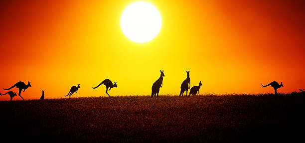 Kangaroo On Sunset Jumping Kangaroo Under The Sunset outback stock pictures, royalty-free photos & images