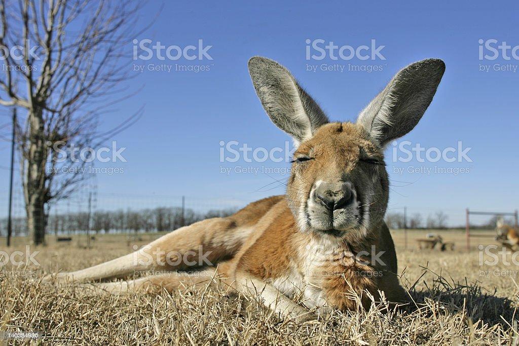Kangaroo on the lamb royalty-free stock photo